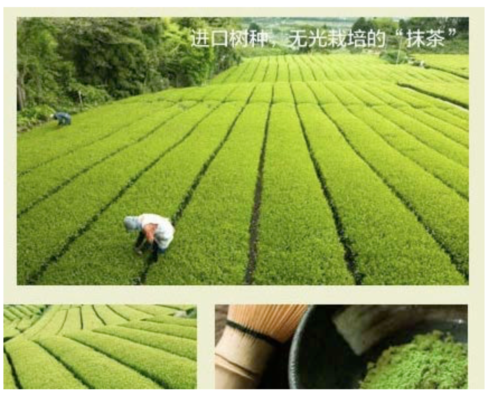 Japan The Home Of The Best Green Tea